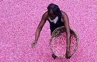 récolte des roses Inde