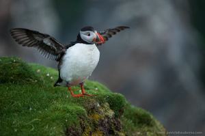 macareux moine, voyage photo shetland