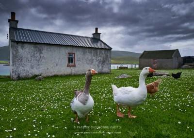 Oies, Shetland