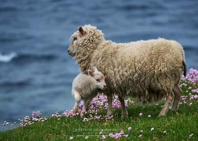 Mouton shetlandais