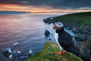 voyage photo shetlands, macareux