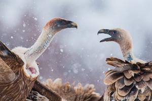 vautour durant le voyage photo aigles
