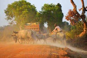 Une jeune fille ramène son troupeau de vache à la ferme - voyage et stage photo au Cambodge