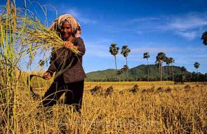 Moisson du riz,coupe du riz, Kompong Chhnang, Cambodge - Voyage photo au Cambodge
